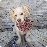 Adopt A Pet :: Little Guy - Yucaipa, CA