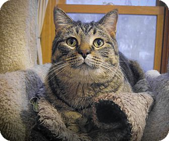 Domestic Shorthair Cat for adoption in Roseville, Minnesota - Duncan