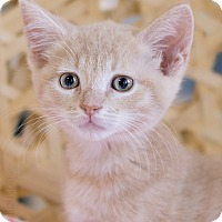 Adopt A Pet :: Basil - Montclair, CA