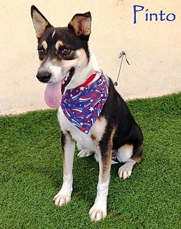 Australian Cattle Dog/Shepherd (Unknown Type) Mix Dog for adoption in San Diego, California - Pinto