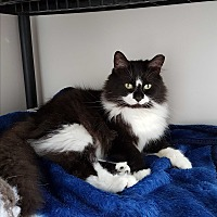 Adopt A Pet :: Merlin - Orillia, ON