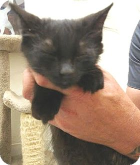 Domestic Mediumhair Kitten for adoption in Casa Grande, Arizona - Trix