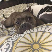 Adopt A Pet :: Diamond in Garner NC - Richmond, VA