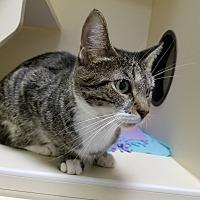 Adopt A Pet :: Velveeta - Elyria, OH