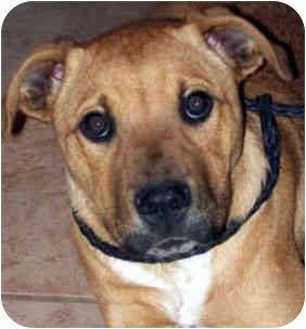 Boxer Mix Dog for adoption in Tahlequah, Oklahoma - Dexter