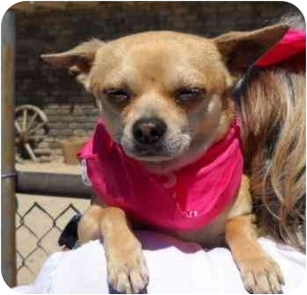 Chihuahua Mix Dog for adoption in Palmdale, California - Poocho