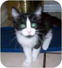 Domestic Shorthair Kitten for adoption in Tampa, Florida - Chicklet