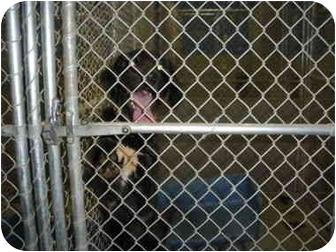 "Labrador Retriever Mix Dog for adoption in MARION, Virginia - ""Tommy"""