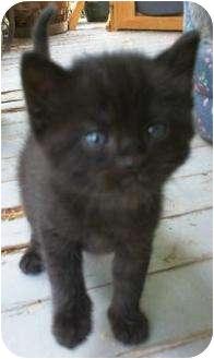 Domestic Shorthair Kitten for adoption in High View, West Virginia - Black Kitten