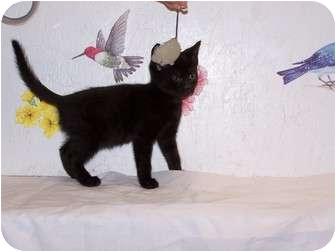 Domestic Shorthair Kitten for adoption in Worcester, Massachusetts - Ebony - kitten