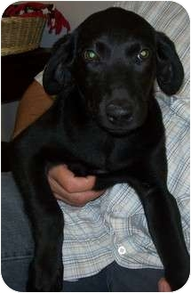 Labrador Retriever Mix Puppy for adoption in Appleton, Wisconsin - Frey