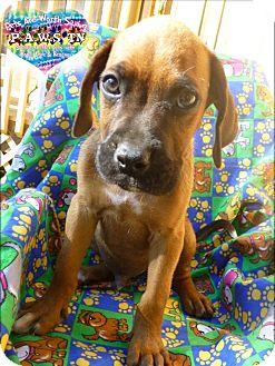Boxer/Labrador Retriever Mix Puppy for adoption in Clarksville, Tennessee - Bruno