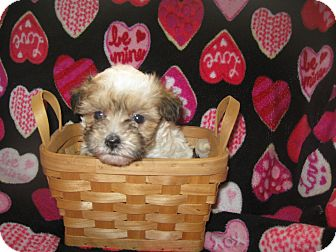 Chinese Crested/Poodle (Toy or Tea Cup) Mix Puppy for adoption in Wauseon, Ohio - Jade