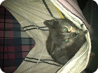 Domestic Shorthair Cat for adoption in Clay, New York - JETTER&JETTA