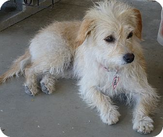 Terrier (Unknown Type, Small) Dog for adoption in Quail Valley, California - Daisy