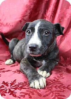 Labrador Retriever/American Pit Bull Terrier Mix Puppy for adoption in Westminster, Colorado - Ernie