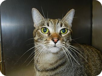 Domestic Shorthair Cat for adoption in Miami, Florida - Filene