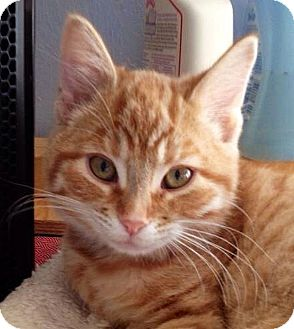 Domestic Shorthair Kitten for adoption in Green Bay, Wisconsin - Mike
