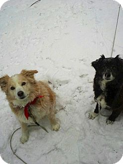 Border Collie Mix Dog for adoption in Freeport, Maine - DJ & Red