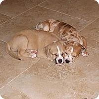 Adopt A Pet :: Amira - Phoenix, AZ