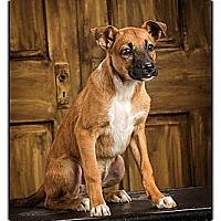 Adopt A Pet :: Vance - Owensboro, KY