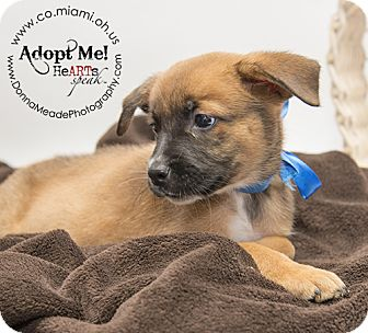 Shepherd (Unknown Type) Mix Puppy for adoption in Troy, Ohio - Benny