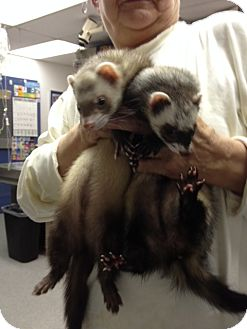 Ferret for adoption in Richmond, Virginia - Yuna and Toby