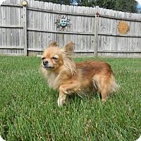 Adopt A Pet :: Red Roxy - Shawnee Mission, KS