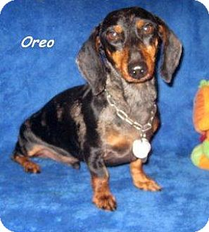 Dachshund Dog for adoption in Chandler, Arizona - Oreo