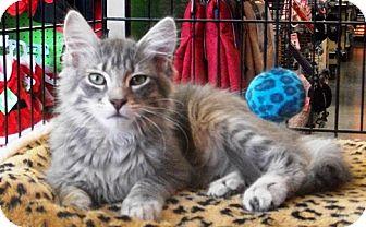 Domestic Mediumhair Cat for adoption in Castro Valley, California - Jaxon