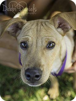 Labrador Retriever Mix Dog for adoption in McKinney, Texas - Whitley