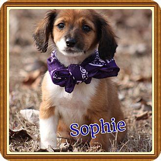 Shih Tzu/Dachshund Mix Puppy for adoption in Brattleboro, Vermont - Sophie
