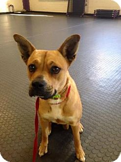 Boxer/Terrier (Unknown Type, Medium) Mix Dog for adoption in Peace Dale, Rhode Island - Allie