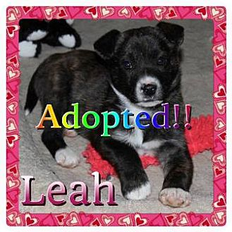 Australian Shepherd Mix Puppy for adoption in Kenmore, New York - Leah