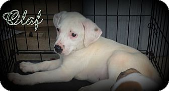 Jack Russell Terrier/Feist Mix Puppy for adoption in Denver, North Carolina - Olaf
