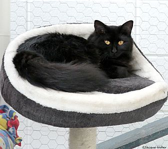 Domestic Longhair Cat for adoption in St Louis, Missouri - Spangle