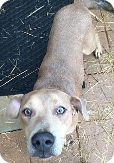 Weimaraner Mix Puppy for adoption in Gadsden, Alabama - Lodi