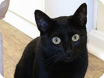 Domestic Shorthair Cat for adoption in Amherst, Massachusetts - Kelly