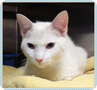 Domestic Shorthair Kitten for adoption in Marietta, Georgia - CRYBABY