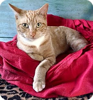 Domestic Shorthair Cat for adoption in Savannah, Georgia - Sunshine