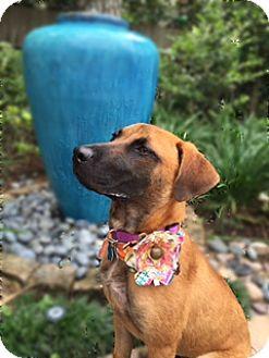 Belgian Malinois/Labrador Retriever Mix Puppy for adoption in Seattle, Washington - KATIE
