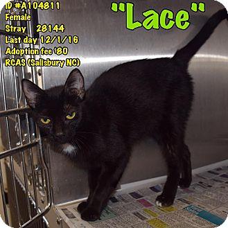 Domestic Shorthair Cat for adoption in Salisbury, North Carolina - Lace