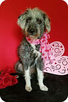 Schnauzer (Miniature)/Poodle (Miniature) Mix Dog for adoption in Hartford, Connecticut - Becca