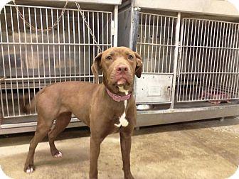 Labrador Retriever/Pit Bull Terrier Mix Dog for adoption in Upper Sandusky, Ohio - Penny