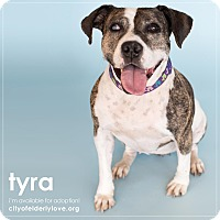 Pit Bull Terrier Mix Dog for adoption in Philadelphia, Pennsylvania - TYRA!
