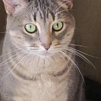 Domestic Shorthair Cat for adoption in Prescott, Arizona - Ziva