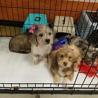 Adopt A Pet :: TerriPoo Puppies - Los Angeles, CA