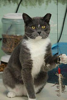 Domestic Shorthair Cat for adoption in Colorado Springs, Colorado - Twisp