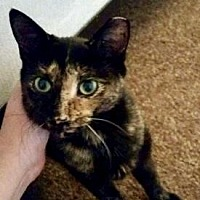 Domestic Shorthair Cat for adoption in Philadelphia, Pennsylvania - Freckles