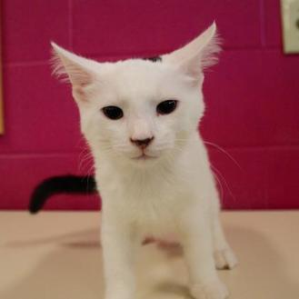 Domestic Shorthair/Domestic Shorthair Mix Cat for adoption in Green Bay, Wisconsin - Lovebug
